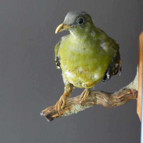 Pigeon naturalisé - cabinet de curiosité
